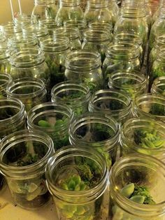 Planting succulents in mason jars as centerpieces and favors