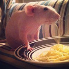 Gus slurping spaghetti #hairless #rat