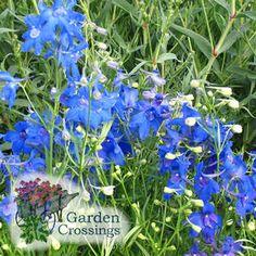 Delphinium  'Summer Nights' (Larkspur)  Deep Blue Spring through summer flowering plant.