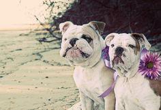 My Bulldog Babies ❤️