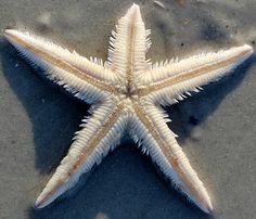 star fish starfish upside down anastasia st augustine florida beach by Latent Image Photography, via Flickr