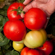 Tomato Seeds - Big League at Suttons Seeds Tomato Garden, Tomato Plants, Determinate Tomatoes, Sutton Seeds, Beefsteak Tomato, Perennial Vegetables, Tomato Farming, Tomato Seeds, Seed Catalogs