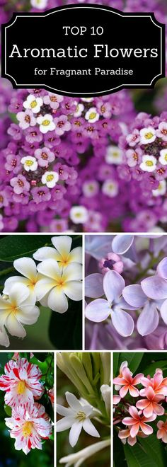 Top 10 Aromatic Flowers