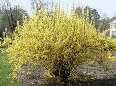 Hier sehen Sie, wie man eine Forsythie nach der Blüte richtig auslichtet. Die Schnittmethode eignet sich auch für andere Frühlings- und Frühsommerblüher.