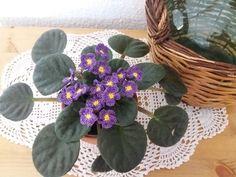 Violeta africana ( Saintpaulia ) crochet/ganchillo
