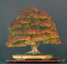 Erable du Japon automne