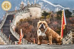 So You Want to Become An American Bully Breeder.. - BULLY KING Magazine
