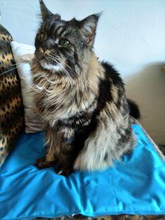 Maine Coon Katze Mystery sitzt auf der Kühlmatte Maine Coon, Mystery, Cats, Animals, Maine Coon Cats, Summer, Kunst, Gatos, Animales