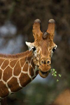 """Evil Giraffe  """"I'm going to eat ALL the leaves...whaa-ha-ha""""  (as per Eddie Izzard!  :O)  )"""
