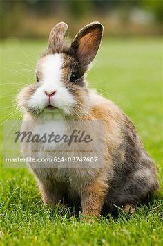 Asshole fever rabbit