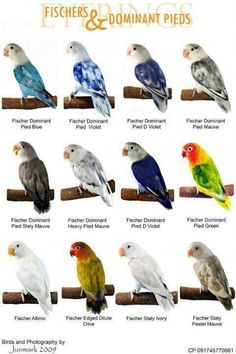 color mutations of black masked lovebirds | World Famous Types Of Colorful Love Birds Mutation of The Day