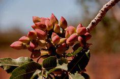 #plantas de #pistacho