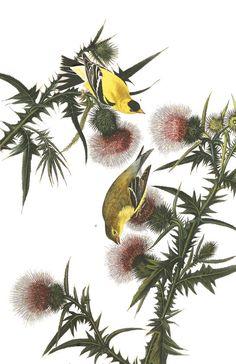 16 Best Audubon Prints Images On Pinterest