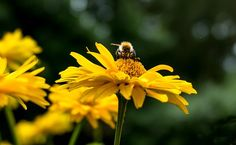 Yellow Woman Eye, Flower, Nature pixabay.com