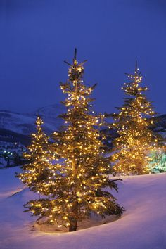 Snpw in Christmas trees, Park City, Wastch Mountains, Utah