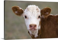 Premium Thick-Wrap Canvas Wall Art Print entitled Calf Portrait, None