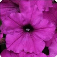 Easy Wave™ Violet Spreading Petunia