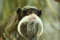 emperor tamarin monkey...... great stash