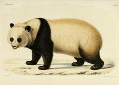https://flic.kr/p/bzTPis | n304_w1150 | Recherches pour servir à l'histoire naturelle des mammifères :. Paris :G. Masson,1868-1874.. biodiversitylibrary.org/page/39564366 Loans of giant pandas 2 American zoos mark some of 1st cultural exchanges between China & West. C the #panda in #bhlib biodiversitylibrary.org/page/39564366