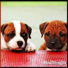 #bullmagia #staffordshirebullterrier
