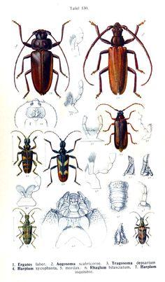 Ergates faber; Aegosoma scabricorne; Tragosoma depsarium; Harpium sycophanta; Harpium mordax; Rhagium bisfasciatum; Harpium inquisitor.  Die Käfer des Deutschen Reiches. (1908)