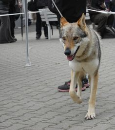 Czechoslovakian wolfdog (Nord Bohemia Canis 25. 5. 2013)