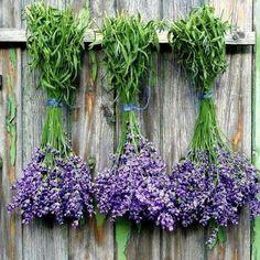 ♥♥ lavender