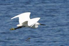 Airone bianco in volo #Capoterra #Sardegna