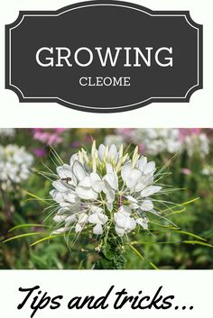 Cleomes are the longest flowering, half-hardy annual flower. You just have to simply press seed into the soil and keep it well watered. Have a look at tools needed and how to care for cleome flowers.