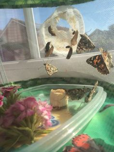 These butterflies love having some flowers and banana in their butterfly garden! Photo courtesy of Kate Moss