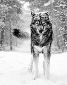 Wolf Husky, Siberian Husky Dog, Beautiful Wolves, Animals Beautiful, Wolf Poses, Animals And Pets, Cute Animals, Wolf Photography, Wolf Spirit Animal