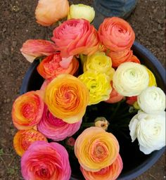 Beautiful pastel colors in our ranunculus.  So many delicate petals in each pretty bloom. Grown by Bare Mtn Farm