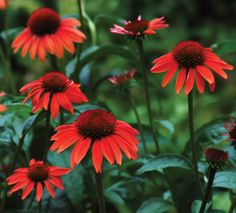 Sundown #Coneflower is another hybrid coneflower in the Big Sky™ series. The #flowers start out being fluorescent rose #pink while buds are expanding, then change to bright rose-orange. They eventually fade to soft #purple pink. These are very fragrant, daisy-like flowers! Sundown blooms from June to September and is a major attractor to #butterflies and #bees and is a must for any #perennial #gardens.