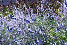 Bog Sage - transitional plantings