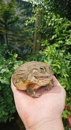 Reptiles And Amphibians, Mammals, Frog And Toad, Frog Frog, Pacman Frog, Frog Pictures, Cute Frogs, Animal 2, Animals Of The World