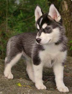 Mini Husky, want so bad! #dogs #cute #precious #cute #little #huskies
