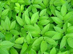 Goutweed leaves