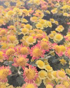 #국화 #꽃 #향기 너무 향기롭네요. #하우스 안에도 #겨울 이 올까요?? #춥지만괜찮아