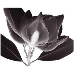 Art.com Magnolia Wall Art Print ($21) ❤ liked on Polyvore featuring home, home decor, wall art, black, paper wall art, magnolia home accessories, horizontal wall art, magnolia wall art and magnolia home decor
