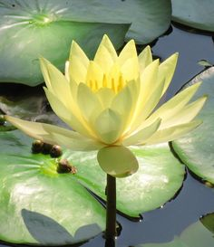 Yellow waterlily. beauty rising from the mud..