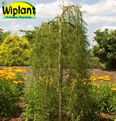 Caragana arb. 'Walker', walkerhängkaragan. Flikbladig, gula blommor. Höjd: 1,2 m. Bredd: 0,5-1 m.