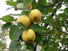 membrillo Todo sobre el cuidado del árbol de Membrillo frutales arboles
