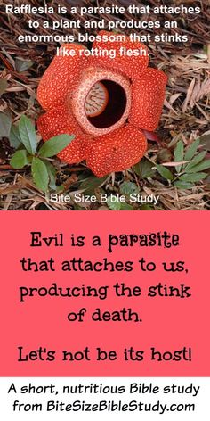 The Rafflesia is a parasitic plant that produces a blossom that smells like rotting flesh. This Bite Size Bible study explains that evil and bitterness are similar types of parasites. (Romans 12:21 provides a cure).
