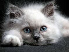 """Now this little one is a Rag doll, according To the pinner's legend. A bit tired or just not motivated to pickup her head. A sort of """"what do you want"""" type of attitude. A basic rag-doll expression"""