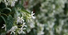 Risultati immagini per gelsomino fiore