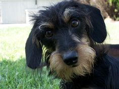 Tllulah  wire hair dachshund- looks just like my girl Nelly!