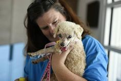 Clayton Animal Control Officer Angela Lee holds Coco, a deaf and partially blind 16 year-old miniature poodle, at the Johnston County Airport in Smithfield, N.C. on Sunday, August 23, 2015. Lee helped to connect an animal control officer in Massachusetts with dog's owners in Concord, N.C. who had been searching for their dog for a month.
