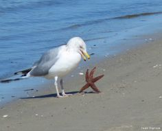 Gull And starfish....looks like he's not going down without a fight!! <3