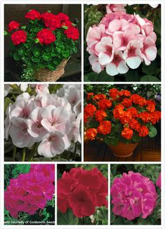 Geranium seeds outstanding series multicolor into 20 seeds #>=#>=#>=#>=#> Click on the pin to check out discount price, color, size, shipping, etc. Save and like it!