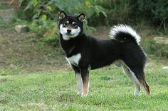 Black Shiba Inu